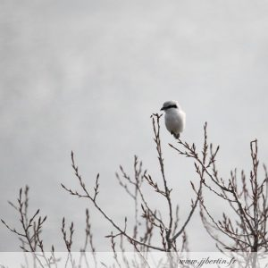 photos animalières drôme jj bertin.fr 2019 pie gièche grise