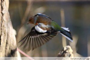 photos animalières drôme jj bertin.fr 2019 pinson des arbres