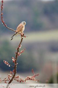 photos animalières drôme jj bertin.fr 2019 faucon crécerelle