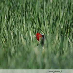 photos animalières drôme jj bertin.fr 2019 faisan de colchide