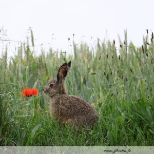 photos animalières drôme jj bertin.fr 2019 lapin