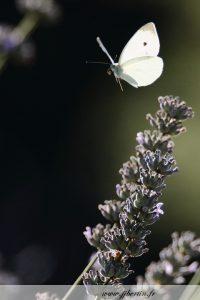 photos animalières drôme jj bertin.fr 2019 papillon