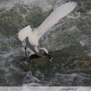 photos animalières drôme jj bertin.fr 2019 aigrette garzette
