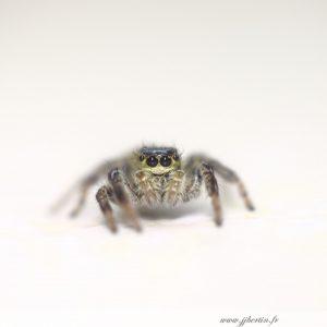 photos animalières drôme jj bertin.fr 2019 araignée saltique