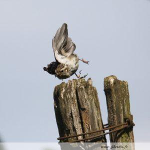 photos animalières drôme jjbertin.fr 2019 grimpereau des bois