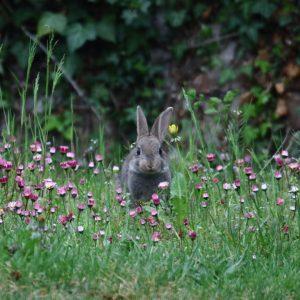 photos animalières drôme jjbertin.fr 2019 lapin de garenne
