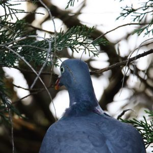 photos animalières drôme jjbertin.fr 2019 pigeon ramier