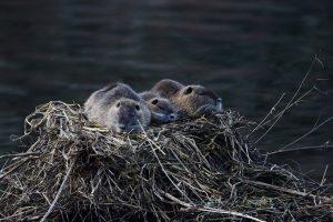 photos animalières drôme jjbertin.fr 2019 ragondin