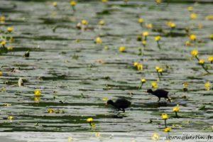 photos animalières drôme jjbertin.fr 2020 gallinule poule d'eau