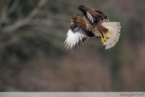 photos animalières drôme jjbertin.fr 2021 buse variable