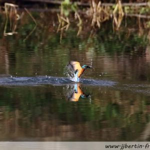 photos animalières drôme jjbertin.fr 2021 martin pêcheur