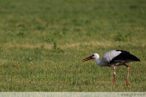 photos animalières drôme jjbertin.fr 2021 cigogne blanche